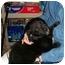 Photo 2 - Border Collie/Labrador Retriever Mix Puppy for adoption in Slidell, Louisiana - Morton