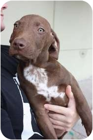 Labrador Retriever/American Pit Bull Terrier Mix Puppy for adoption in Arlington, Texas - Chucky