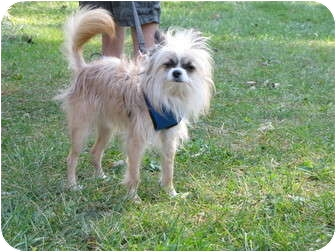 Chinese Crested/Chihuahua Mix Dog for adoption in Newtown, Connecticut - KIRBY