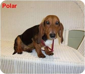 Basset Hound/Dachshund Mix Puppy for adoption in Slidell, Louisiana - Polar