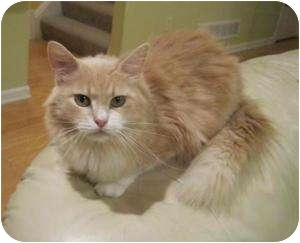Maine Coon Cat for adoption in Cleveland, Ohio - Bit-O-Honey
