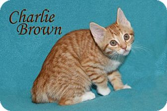 American Shorthair Cat for adoption in Albert Lea, Minnesota - Charlie Brown