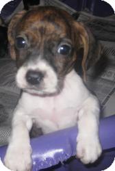 Basset Hound/Boxer Mix Puppy for adoption in Chicago, Illinois - Paige