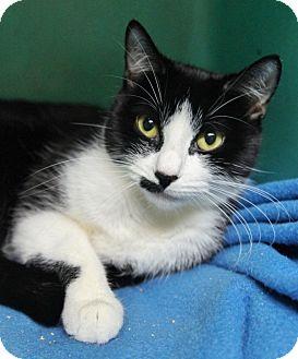 Domestic Shorthair Cat for adoption in Medford, Massachusetts - Keyka