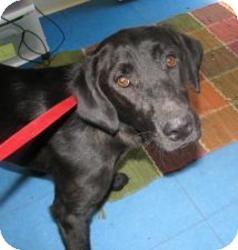 Labrador Retriever Mix Dog for adoption in Largo, Florida - Roxy