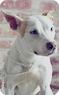 Cattle Dog/Pit Bull Terrier Mix Dog for adoption in Chicago, Illinois - Fiona