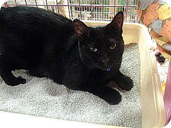 Domestic Shorthair Cat for adoption in Chesapeake, Virginia - Midnight