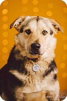 German Shepherd Dog Mix Dog for adoption in Portland, Oregon - Cody