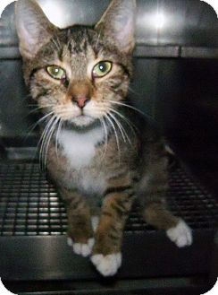 Domestic Shorthair Cat for adoption in Loogootee, Indiana - Ryan