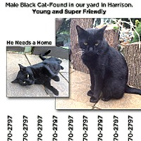 Domestic Shorthair Cat for adoption in Harrison, New York - Lefty