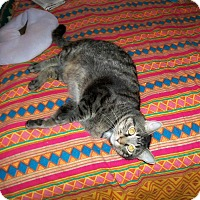 Adopt A Pet :: George - Bentonville, AR