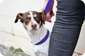 Rat Terrier/Terrier (Unknown Type, Small) Mix Dog for adoption in Stillwater, Oklahoma - Gus