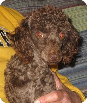 Poodle (Miniature) Dog for adoption in Westport, Connecticut - Harvey