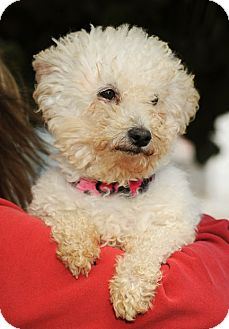Bichon Frise/Poodle (Miniature) Mix Dog for adoption in Long Beach, California - BO DIDDLY