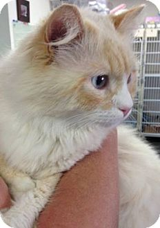 Ragdoll Cat for adoption in Davis, California - Toska