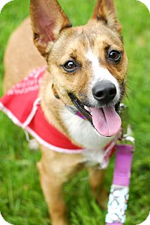 Chihuahua/Basenji Mix Dog for adoption in Detroit, Michigan - Pierson-Adopted!