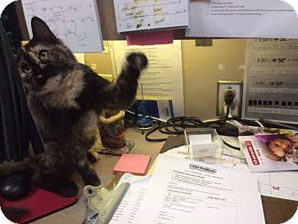 Domestic Shorthair Cat for adoption in Smithfield, North Carolina - Annie