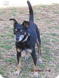 Miniature Pinscher Dog for adoption in Portland, Maine - Tito