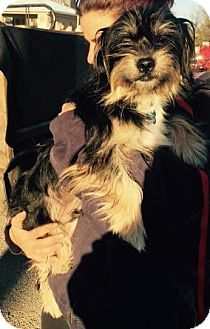 Yorkie, Yorkshire Terrier/Maltese Mix Dog for adoption in Rochester, New York - Chewie