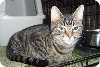 Egyptian Mau Cat for adoption in Medford, Wisconsin - TILLY
