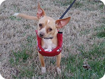 Chihuahua Puppy for adoption in Haggerstown, Maryland - Jester