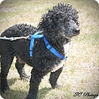 Adopt A Pet :: Sam - ROME, NY