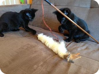 Domestic Shorthair Kitten for adoption in Columbus, Ohio - Babs