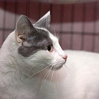 Domestic Shorthair Cat for adoption in Lombard, Illinois - Teanna