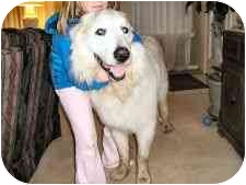 Great Pyrenees Dog for adoption in Kyle, Texas - Diego