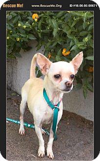 Chihuahua Mix Dog for adoption in Phoenix, Arizona - Spice