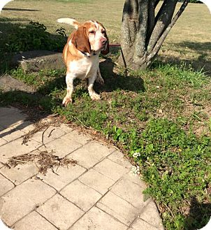 Beagle Mix Dog for adoption in Mechanicsburg, Ohio - Yellar