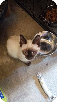 Siamese Kitten for adoption in Hammond, Louisiana - Dallon