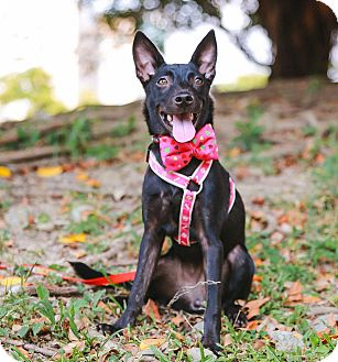 Shepherd (Unknown Type)/Miniature Pinscher Mix Puppy for adoption in Castro Valley, California - Lisha