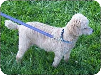 Poodle (Miniature) Mix Dog for adoption in Somerset, Pennsylvania - Pooh