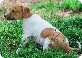 Beagle Mix Puppy for adoption in Aiken, South Carolina - Buster