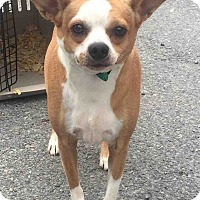 Boston Terrier/Chihuahua Mix Dog for adoption in Loudonville, New York - Sugarbear