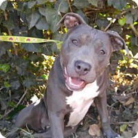 Adopt A Pet :: Dabs-good w/dogs,cats,kids!! - Lincoln, CA