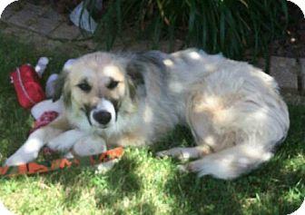 Golden Retriever/Anatolian Shepherd Mix Dog for adoption in Somonauk, Illinois - Chubs