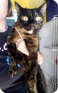Domestic Mediumhair Cat for adoption in Mission, Kansas - Fraulein