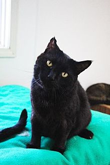 Domestic Shorthair Cat for adoption in Fremont, Ohio - Muffin