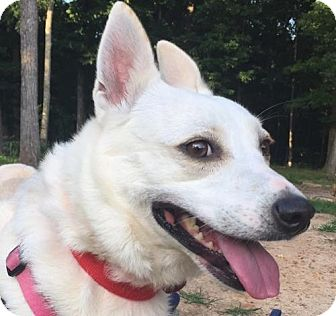 Spitz (Unknown Type, Medium)/Shepherd (Unknown Type) Mix Dog for adoption in Alpharetta, Georgia - Evelyn