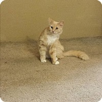 Maine Coon Cat for adoption in Sacramento, California - Princess Thea