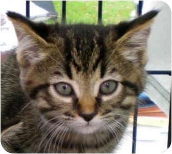 Domestic Shorthair Kitten for adoption in Troy, Michigan - Sonata