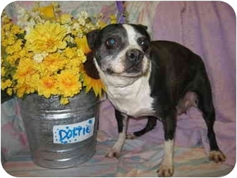Boston Terrier Dog for adoption in Fort Wayne, Indiana - Dottie