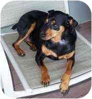 Miniature Pinscher Dog for adoption in Florissant, Missouri - Noel