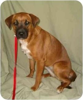 Boxer/Labrador Retriever Mix Dog for adoption in Morrison, Missouri - Molly