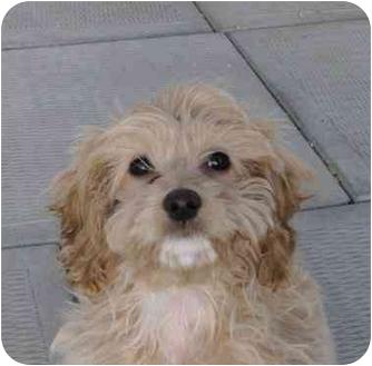 Cockapoo Mix Puppy for adoption in Ile-Perrot, Quebec - ZOE