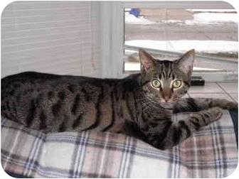 Domestic Mediumhair Cat for adoption in Warren, Michigan - Piper