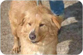 Golden Retriever/Nova Scotia Duck-Tolling Retriever Mix Dog for adoption in Hartford, Connecticut - Holly RDV