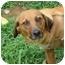 Photo 1 - Beagle/Golden Retriever Mix Dog for adoption in Spring Valley, New York - Corona  (amputee)